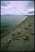 Dead fish on the shores of Salton Sea. California, USA (color)