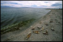 Dead fish on the shores of Salton Sea. California, USA