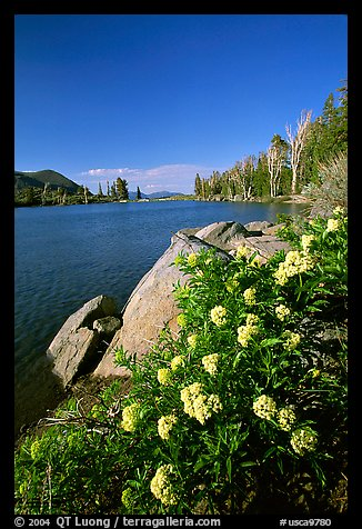 Flowers on the edge of Frog Lake. Mokelumne Wilderness, Eldorado National Forest, California, USA (color)