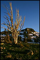 Standing tree squeleton and Round Top Peak. Mokelumne Wilderness, Eldorado National Forest, California, USA (color)