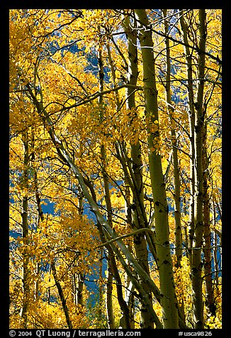 Aspens in the fall, Lundy Canyon, Inyo National Forest. California, USA (color)
