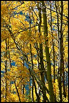 Aspens in the fall, Lundy Canyon, Inyo National Forest. California, USA ( color)