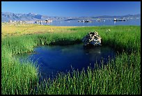 Grasses and spring with small tufa being formed underwater. Mono Lake, California, USA ( color)