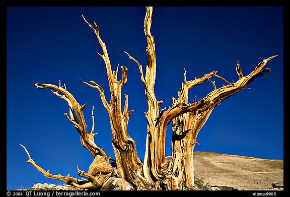 Bristlecone Pine tree squeleton, Patriarch Grove. California, USA (color)