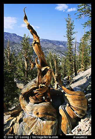 Twisted Bristlecone Pine tree, Methuselah grove. California, USA (color)