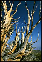 Bristlecone Pine tree squeleton, Methuselah grove. California, USA (color)