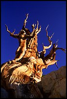 Bristlecone Pine tree, late afternoon, Discovery Trail, Schulman Grove. California, USA ( color)