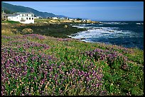 Wildflower field and village, Shelter Cove, Lost Coast. California, USA