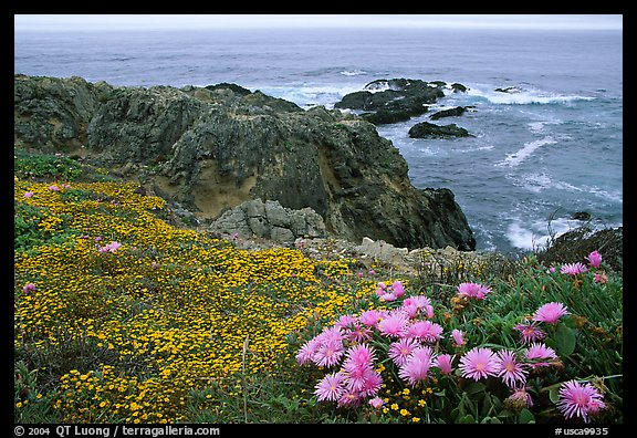 Pink iceplant and small yellow flowers on a coast bluff, Mendocino. Mendocino, California, USA (color)