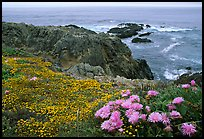 Pink iceplant and small yellow flowers on a coast bluff, Mendocino. Mendocino, California, USA ( color)