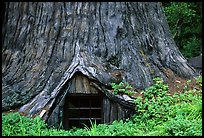 Tree House, a room inside the hollowed base of a living redwood tree,  near Leggett. California, USA (color)