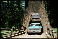 Truck driving through Drive-Through Tree, Leggett. California, USA (color)