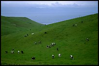 Cows on green hills near Drakes Estero. Point Reyes National Seashore, California, USA