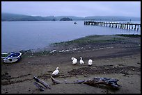 Ducks and Pier, Tomales Bay. California, USA ( color)