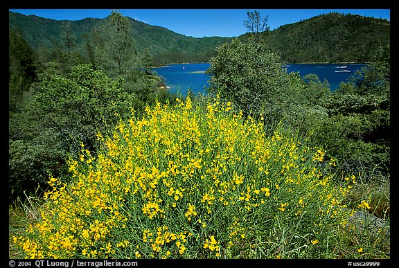 Bush in bloom with yellow flowers, and Shasta Lake criscrossed by watercrafts. California, USA (color)