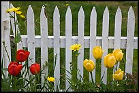 Yellow and red tulips, white picket fence, Old Saybrook. Connecticut, USA ( color)