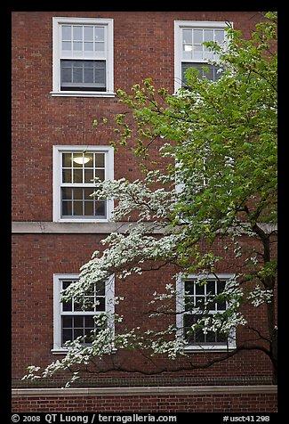 Dogwoods and red brick facade, Essex. Yale University, New Haven, Connecticut, USA (color)