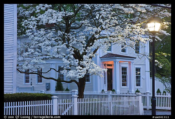 Dogwood in bloom, street light, and facade at night, Essex. Connecticut, USA (color)