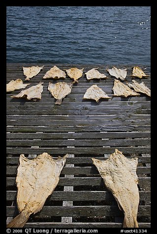 Drying slabs of fish. Mystic, Connecticut, USA (color)
