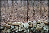 Stone wall and bare forest in winter, Minute Man National Historical Park. Massachussets, USA ( color)