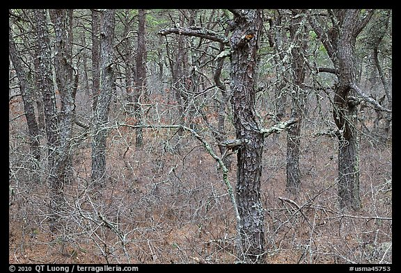 Bare forest with dense understory, Cape Cod National Seashore. Cape Cod, Massachussets, USA (color)