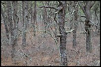 Bare forest with dense understory, Cape Cod National Seashore. Cape Cod, Massachussets, USA ( color)