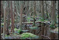 White Cedar Swamp, Cape Cod National Seashore. Cape Cod, Massachussets, USA (color)