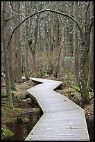 Boardwalk, Atlantic White Cedar swamp trail, Cape Cod National Seashore. Cape Cod, Massachussets, USA (color)