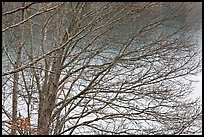 Bare branches, Sandwich. Cape Cod, Massachussets, USA ( color)