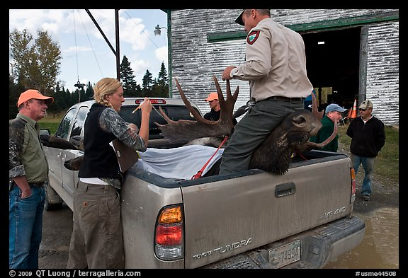 Inspectors recording antler length of killed moose, Kokadjo. Maine, USA (color)