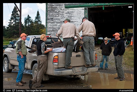Game wardens check antler length of killed moose, Kokadjo. Maine, USA (color)