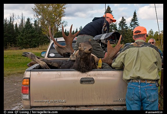 Hunters and tagged moose in back of truck, Kokadjo. Maine, USA (color)