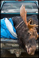 Large dead moose in back of truck, Kokadjo. Maine, USA (color)