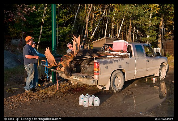 Hunters with moose in back of truck. Maine, USA