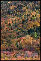 Mix of evergreens and trees in autumn foliage on slope. Baxter State Park, Maine, USA