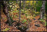 Forest and undergrowth in autumn. Baxter State Park, Maine, USA ( color)