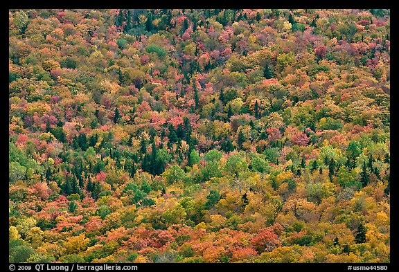 Tree canopy in the fall seen from above. Baxter State Park, Maine, USA (color)