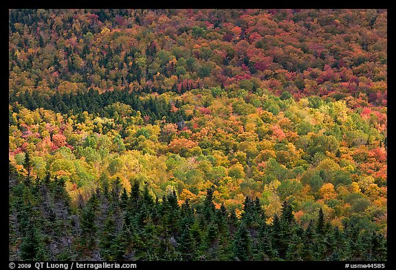 Ridge of conifers and deciduous trees with spotlight. Baxter State Park, Maine, USA (color)