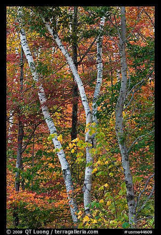Curving tree trunks and fall foliage. Maine, USA (color)