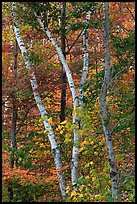Curving tree trunks and fall foliage. Maine, USA ( color)
