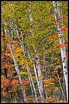 Birch trees in autumn. Baxter State Park, Maine, USA ( color)