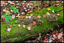 Mushrooms growing on moss-covered log in autumn. Allagash Wilderness Waterway, Maine, USA ( color)