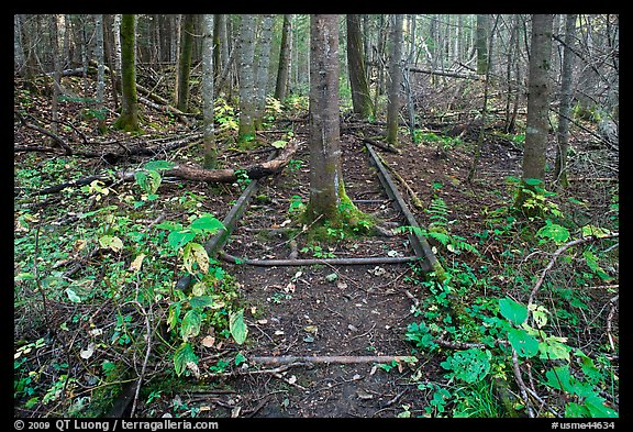 Tree growing in middle of abandonned railroad track. Allagash Wilderness Waterway, Maine, USA (color)