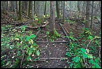 Tree growing in middle of abandonned railroad track. Allagash Wilderness Waterway, Maine, USA ( color)