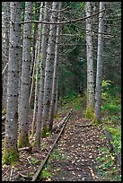 Forest reclaiming railway tracks. Allagash Wilderness Waterway, Maine, USA ( color)