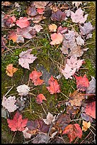 Red fallen maple leaves, moss and rock. Allagash Wilderness Waterway, Maine, USA ( color)
