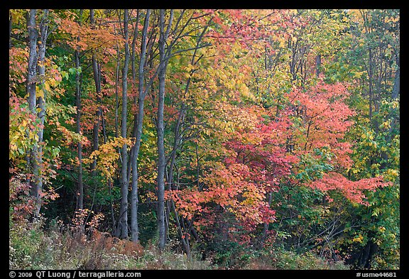 North woods trees with dark trunks in autumn foliage. Allagash Wilderness Waterway, Maine, USA (color)