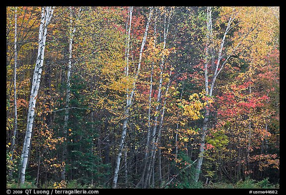 Septentrional trees with light trunks in fall foliage. Allagash Wilderness Waterway, Maine, USA (color)