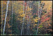 Septentrional trees with light trunks in fall foliage. Allagash Wilderness Waterway, Maine, USA