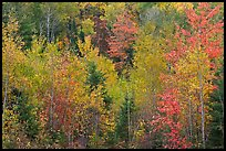 Northwoods autumn color. Maine, USA ( color)